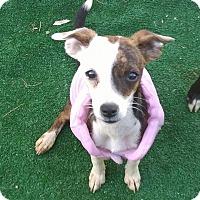 Adopt A Pet :: Brisbee - Henderson, NV