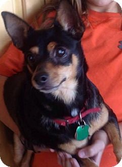 Miniature Pinscher Mix Dog for adoption in Odessa, Texas - Dee