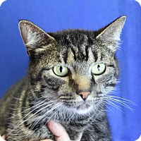 Domestic Shorthair Cat for adoption in Winston-Salem, North Carolina - Brutus