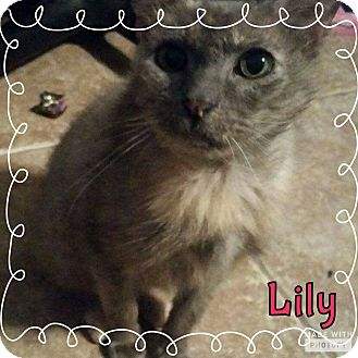 Domestic Mediumhair Cat for adoption in Rowlett, Texas - Lily