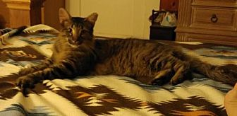 Domestic Mediumhair Cat for adoption in San Antonio, Texas - Whiskers