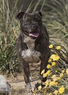 Pit Bull Terrier Mix Dog for adoption in Palm Springs, California - Fiona