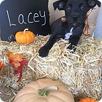 Border Collie/American Staffordshire Terrier Mix Puppy for adoption in Tracy, California - Lacey
