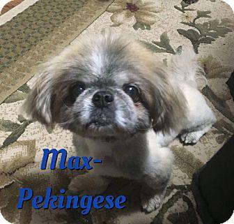 Pekingese Dog for adoption in Cheney, Kansas - Max