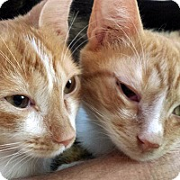 Adopt A Pet :: Simon and Rudy, Terrific Tabbies - Brooklyn, NY
