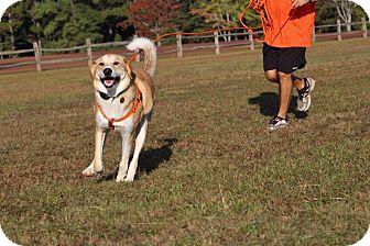 Great Pyrenees/Husky Mix Dog for adoption in Pinehurst, North Carolina - Duncan