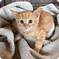 Adopt A Pet :: Tommen - Atlanta, GA
