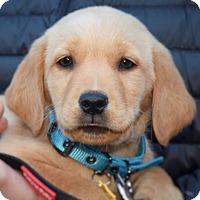 Adopt A Pet :: Georgia - New York, NY