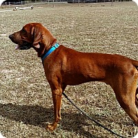 Redbone Coonhound Mix Dog for adoption in Atlanta, Georgia - Red Solo Pup