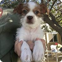 Shih Tzu Dog for adoption in Temecula, California - Larry