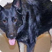 Shepherd (Unknown Type) Mix Dog for adoption in Wildomar, California - Goliath