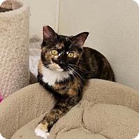 Calico Kitten for adoption in Parker Ford, Pennsylvania - Karoo