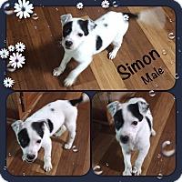 Adopt A Pet :: Simon meet me 1/20 - Manchester, CT