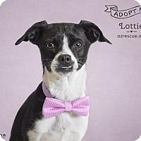 Adopt A Pet :: Lottie - Phoenix, AZ