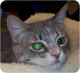 Domestic Shorthair Cat for adoption in Annapolis, Maryland - Bonita
