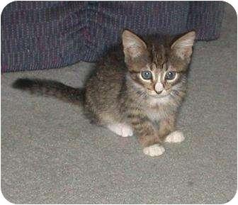 Domestic Shorthair Kitten for adoption in Kirkwood, Delaware - Kippy