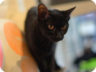 Bombay Kitten for adoption in Brooklyn, New York - Ms Tibbs