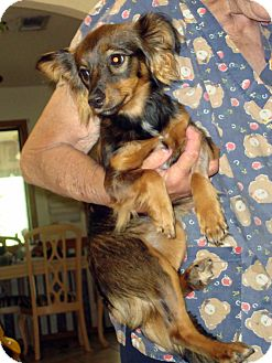 Dachshund/Chihuahua Mix Dog for adoption in Daleville, Alabama - Fluffy
