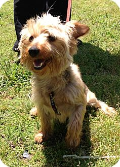 Yorkie, Yorkshire Terrier Mix Dog for adoption in Waldorf, Maryland - Remi #266