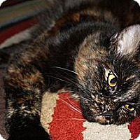 Adopt A Pet :: Pebbles - Laguna Woods, CA