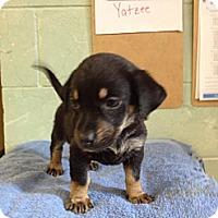 Adopt A Pet :: Yatzee - River Falls, WI