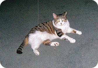 Domestic Shorthair Cat for adoption in Quail Valley, California - Hula