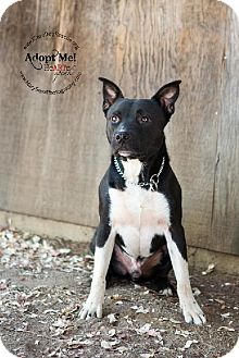 Pit Bull Terrier Mix Dog for adoption in Rancho Santa Margarita, California - Socks