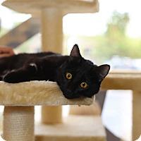 Adopt A Pet :: Domino - Mission Viejo, CA