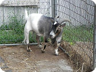 Goat for adoption in Woodstock, Illinois - Twister
