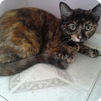 Domestic Shorthair Cat for adoption in Cerritos, California - Sabrina