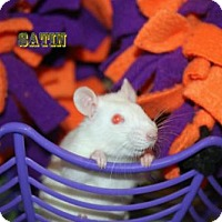 Rat for adoption in Walker, Louisiana - Satin