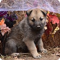 Adopt A Pet :: Gerard - Charlemont, MA