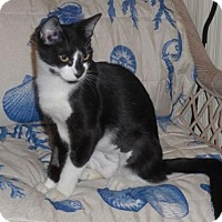 Domestic Shorthair Cat for adoption in Brooklyn, New York - Leonora: Tux With a Twist of Siamese