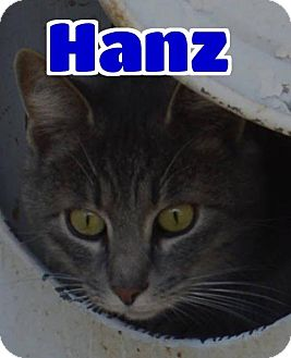 Domestic Mediumhair Cat for adoption in Lawrenceburg, Kentucky - #83-3673 Hanz - foster GB