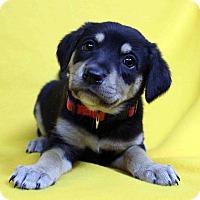 Adopt A Pet :: Haley - Westminster, CO