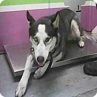 Husky Dog for adoption in Black Forest, Colorado - Frisco Brisco