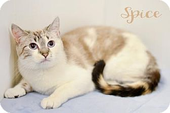 Siamese Cat for adoption in West Des Moines, Iowa - Spice