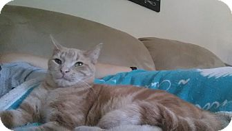 Domestic Shorthair Kitten for adoption in Mount Laurel, New Jersey - Tator Tot
