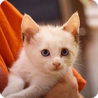 Siamese Cats For Adoption Dallas