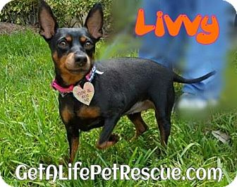 Miniature Pinscher Dog for adoption in Wellington, Florida - Livvy