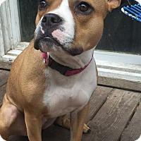 Adopt A Pet :: Lulu - Newtown, PA
