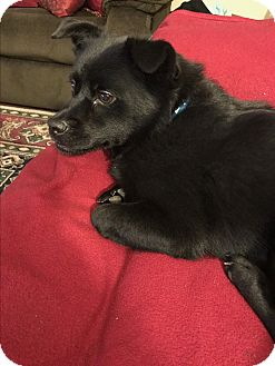 Pomeranian/Chihuahua Mix Dog for adoption in Albemarle, North Carolina - Bear