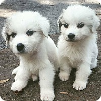Adopt A Pet :: ARIEL and SEBASTIAN - Nashville, TN