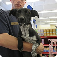 Terrier (Unknown Type, Small) Mix Dog for adoption in Lancaster, California - Licorice