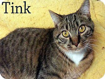 American Shorthair Cat for adoption in Hamilton, Montana - Tink