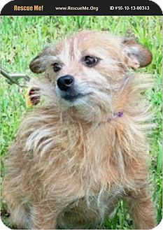 Cairn Terrier Mix Dog for adoption in hollywood, Florida - Kimmy