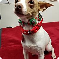 Adopt A Pet :: Cindy Lou Who - Riverside, CA