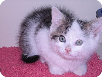 Domestic Mediumhair Kitten for adoption in New Castle, Pennsylvania - Benny