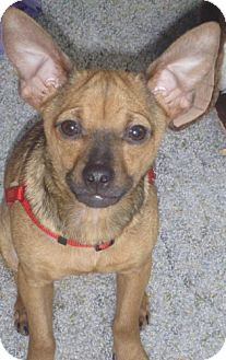 Chihuahua/Terrier (Unknown Type, Small) Mix Dog for adoption in Seattle, Washington - Gumbo