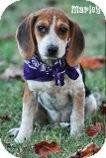 Beagle Puppy for adoption in Brattleboro, Vermont - Marley